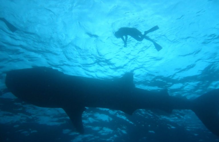 Whale Shark and diver sunlighr